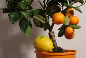 Как прививать апельсин в домашних условиях