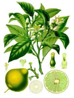 Citrus bergama