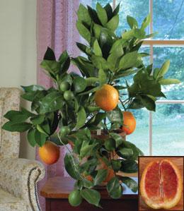 Citrus-sinensis-sanguiella
