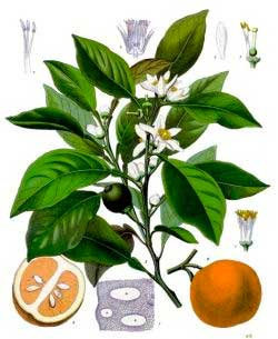 плоды и листья комнатного растения